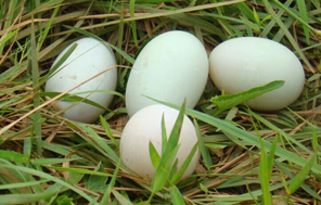 咸鸭蛋有蛋清没蛋黄 专家称最好别吃